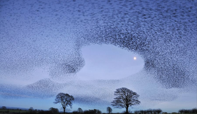 murmuration-bird-flock