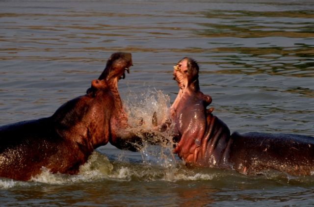 hippos-fighting