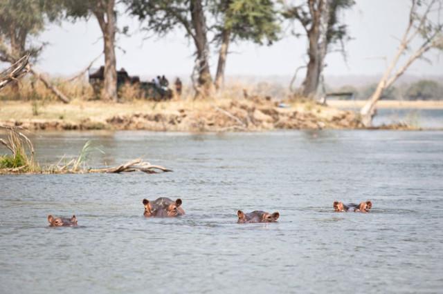hippos-watching-640x426
