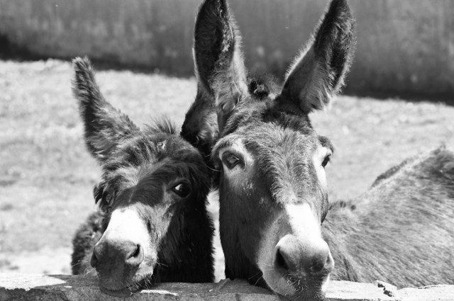 Donkeys-2-Black-White-Film